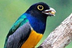 black head trogon