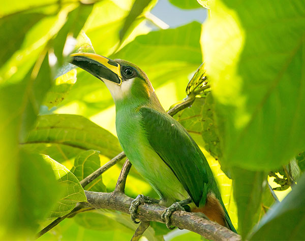 Belize Birding - Emerald Toucanet